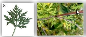 Lutte contre l'Ambroisie à feuilles d'armoiseen Nouvelle Aquitaine